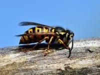 Hård hvepsesommer i vente